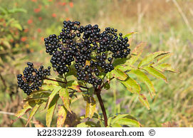 Sambucus ebulus Stock Photos and Images. 36 sambucus ebulus.
