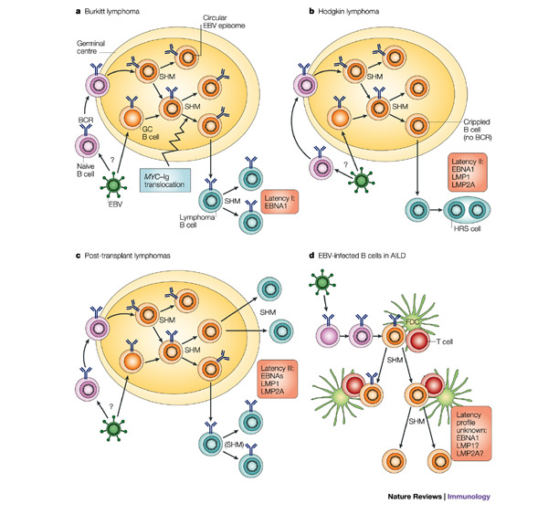 Figure 2 : B cells under influence: transformation of B cells by.