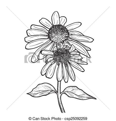 Echinacea Vector Clipart Illustrations. 91 Echinacea clip art.