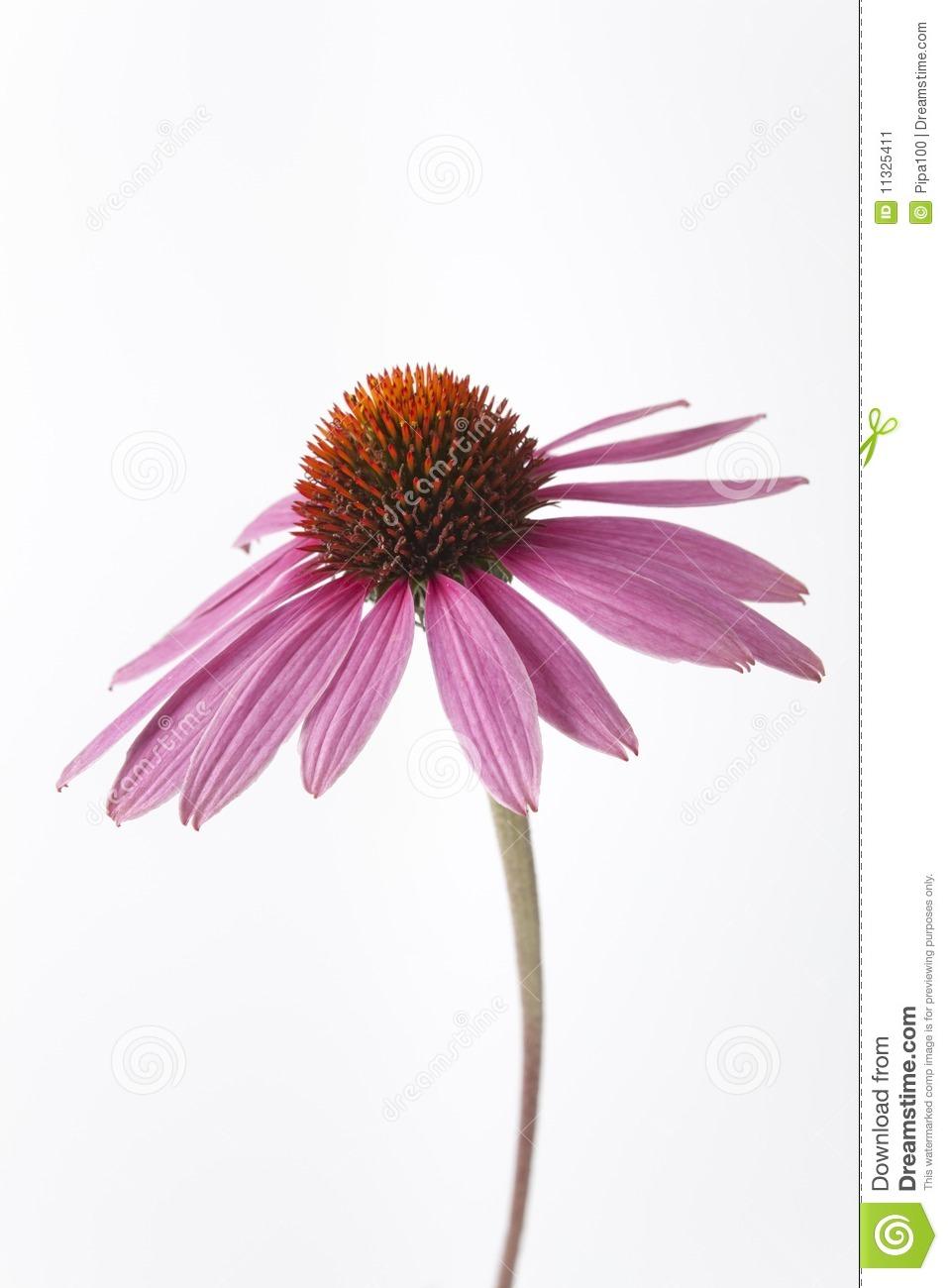 Echinacea clipart.
