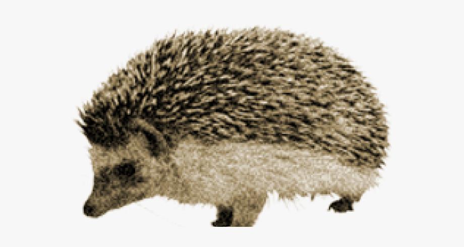 Echidna Clipart Porcupine.