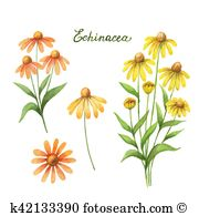 Echinacea Clipart and Illustration. 83 echinacea clip art vector.