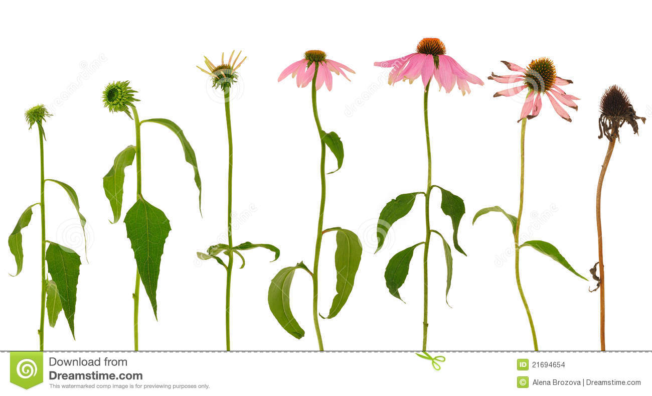 Echinacea Stock Photos, Images, & Pictures.
