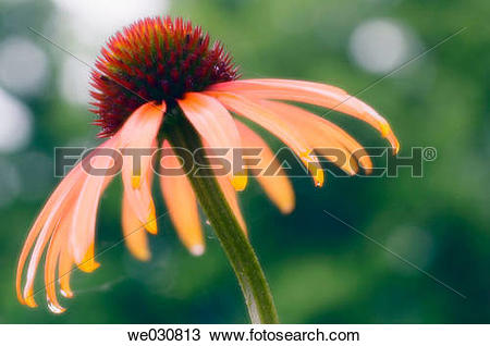 Stock Photo of Yellow Coneflower. Echinacea paradoxa. Maryland.