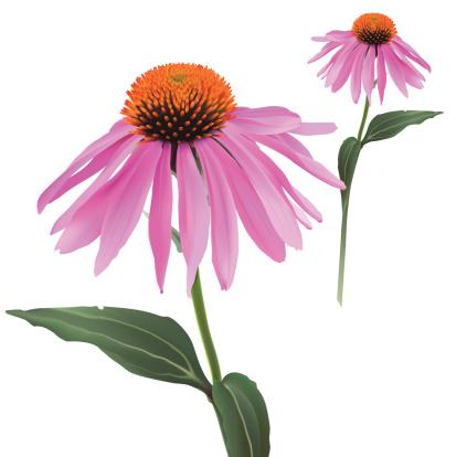 Echinacea Purpurea Clip Art, Vector Images & Illustrations.