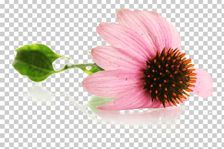 Echinacea Purpurea Mug Coneflower PNG, Clipart, Coneflower, Daisy.