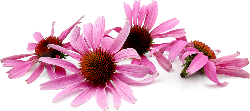 Echinacea Flowers Information, Recipes and Facts.