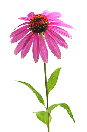 Echinacea png 3 » PNG Image.