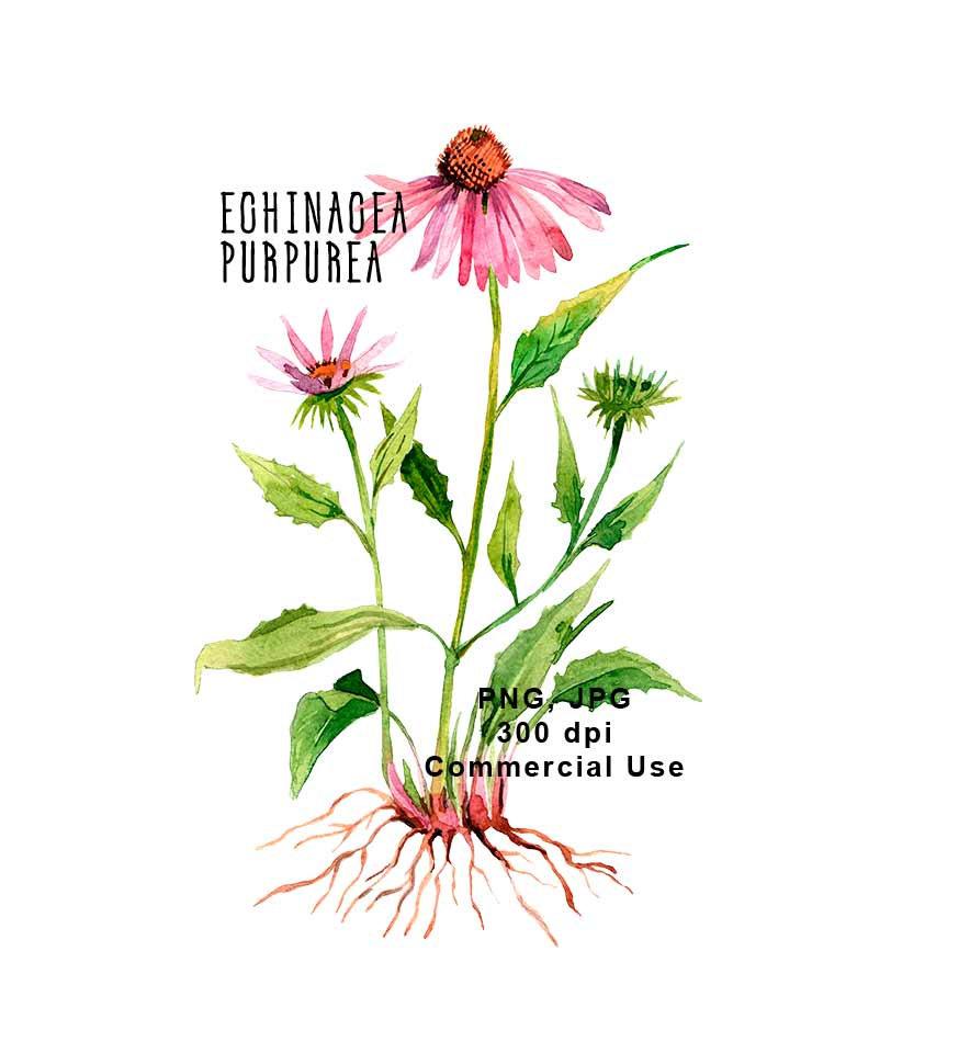 Echinacea purpurea. Botanical illustration. Watercolor Floral Clipart JPG,  PNG, 300 dpi.