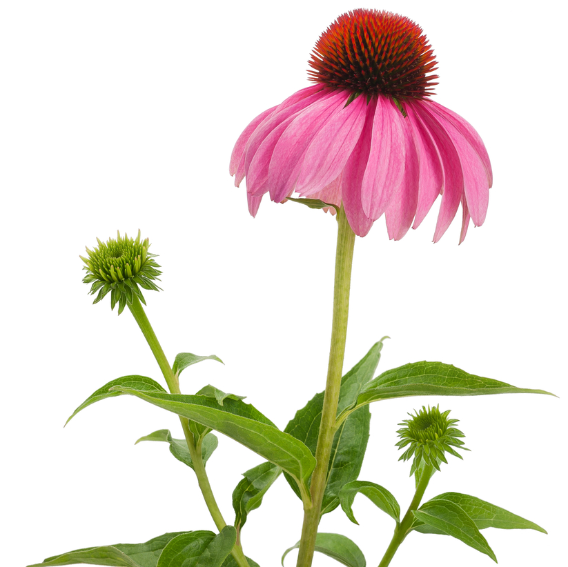 Echinacea png 8 » PNG Image.