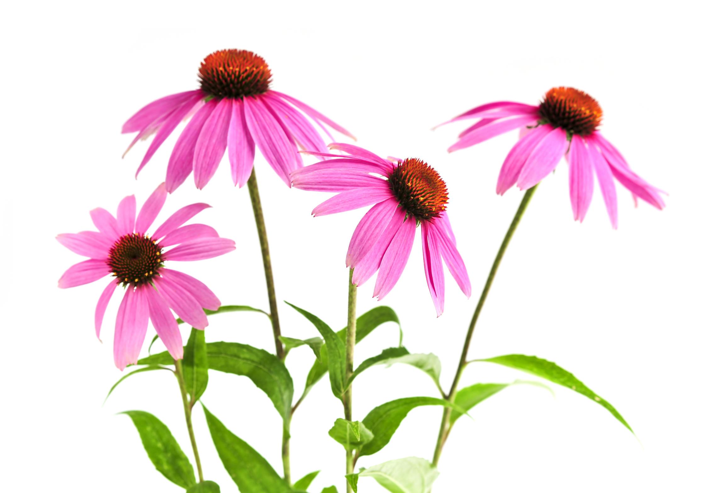 Echinacea purpurea plant.