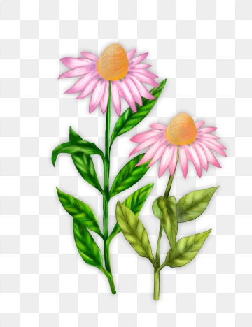 Echinacea PNG Images.