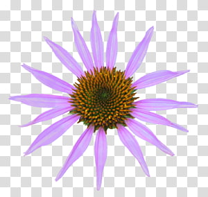Echinacea transparent background PNG cliparts free download.