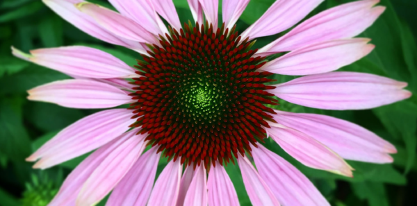 Answer: Facts About Echinacea.