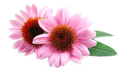 Echinacea png 5 » PNG Image.