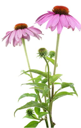 Echinacea png 1 » PNG Image.