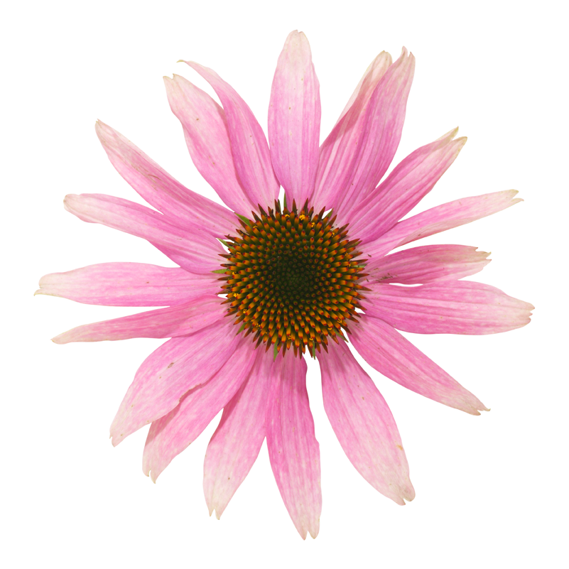 Echinacea png » PNG Image.