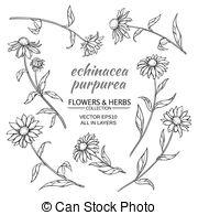 Vector Clipart of Echinacea purpurea (eastern purple coneflower or.
