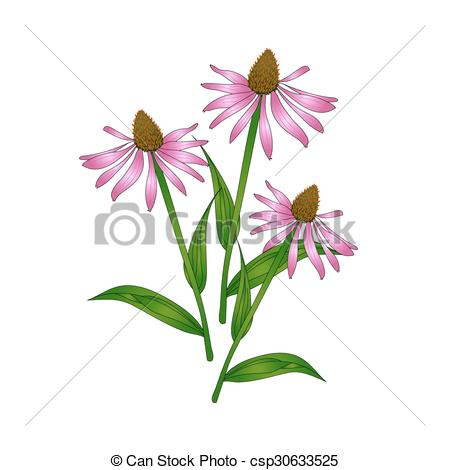 Vector Illustration of Echinacea purpurea on a white background.