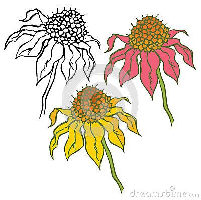 Echinacea Stock Illustrations.