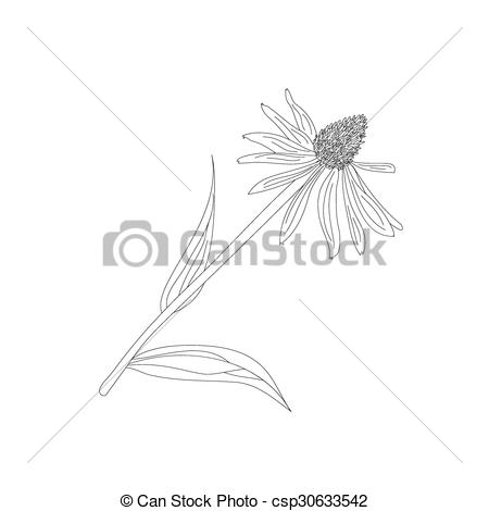 EPS Vector of Echinacea purpurea on a white background csp30633542.