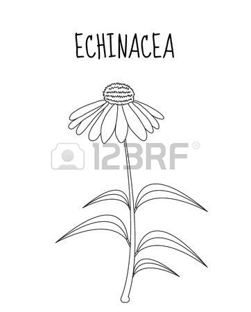 56 Echinacea Purpurea Stock Vector Illustration And Royalty Free.