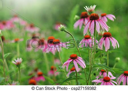 Stock Illustration of Echinacea purpurea.