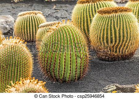 Stock Images of pile of Echinocactus grusonii, cactus typical of.