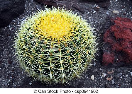 Stock Photo of Cactus Echinocactus grusonii.