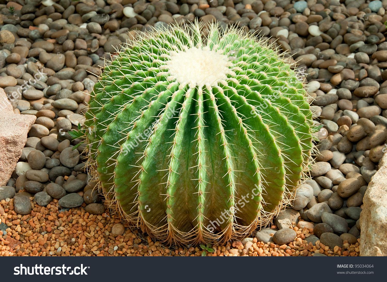 Golden Ball Cactus Echinocactus Grusonii Stock Photo 95034064.