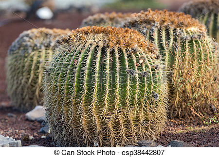 Stock Photography of Echinocactus grusonii, popularly known as the.