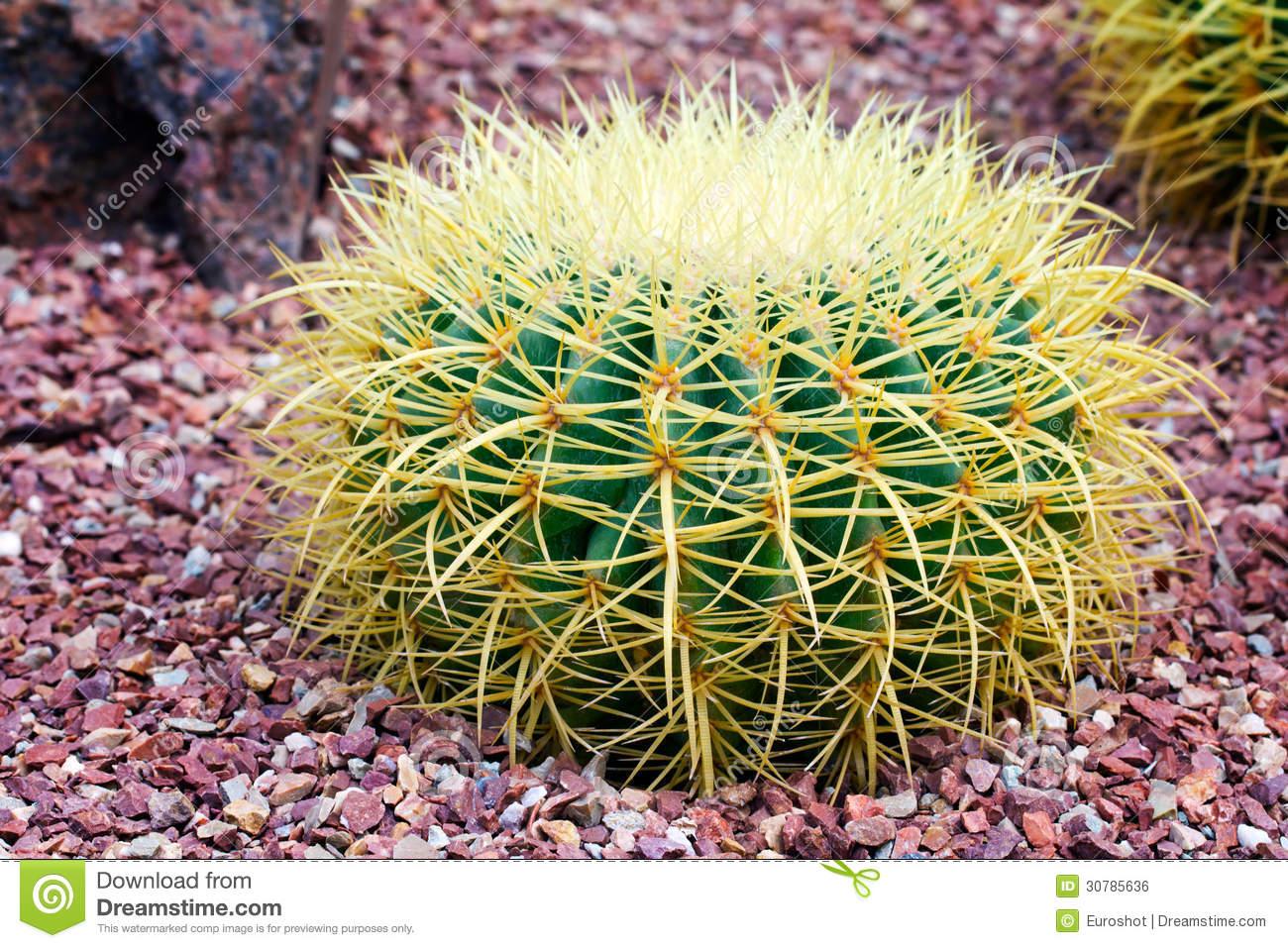 Echinocactus Grusonii Hildm Native To Central Mexico Royalty Free.