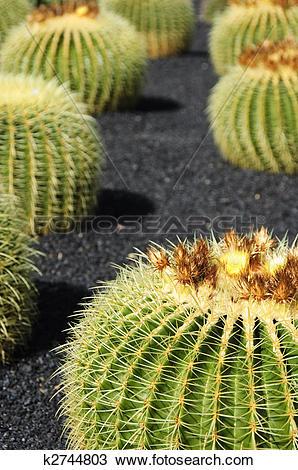 Stock Photo of Echinocactus grusonii, green cactus typical.