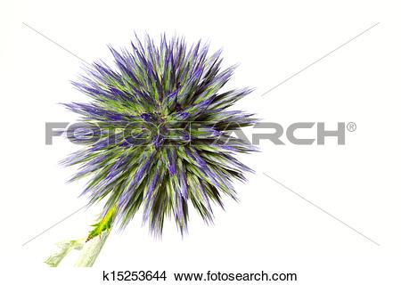 Stock Photo of Blue globe thistle (Echinops) k15253644.