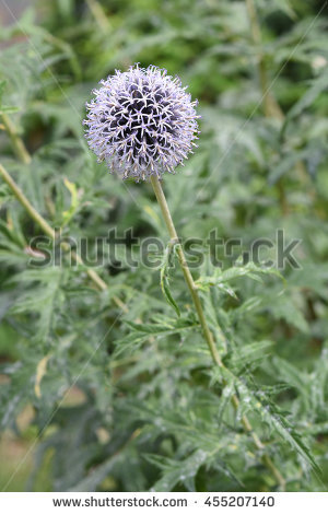 Echinops Bannaticus Stock Photos, Royalty.