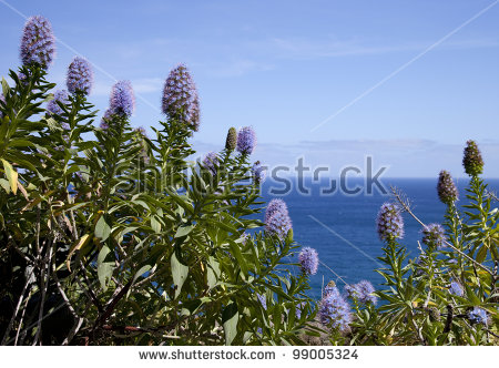 Echium Candicans Stock Photos, Royalty.