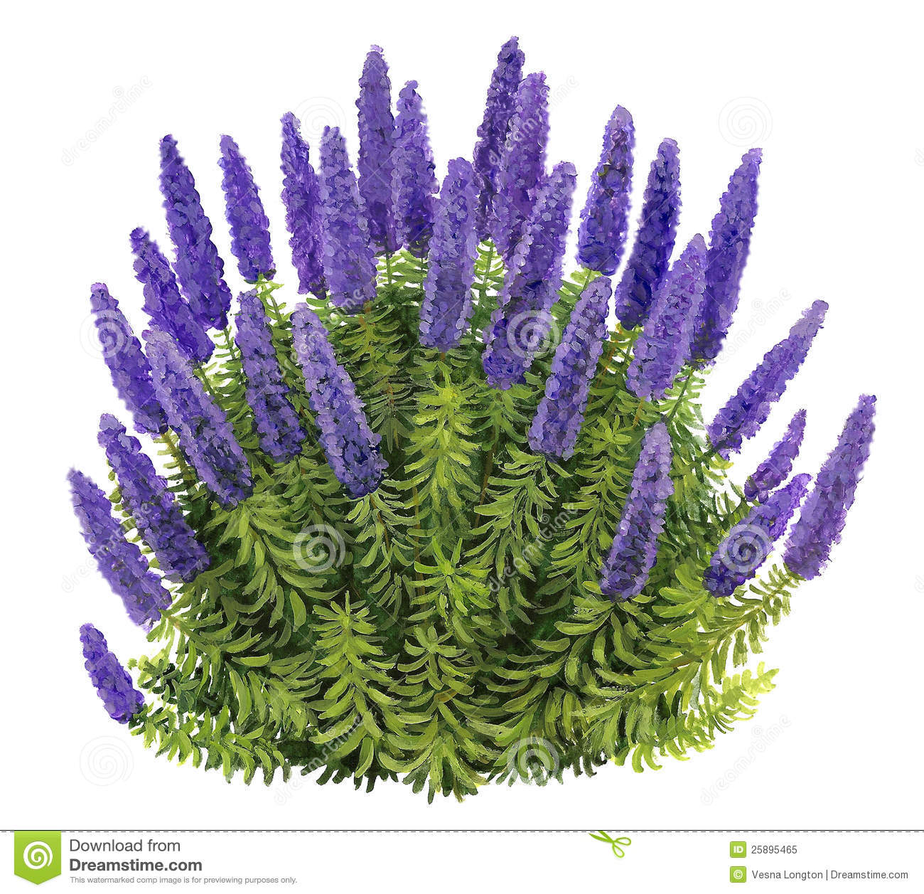 Echium Candicans Royalty Free Stock Photo.