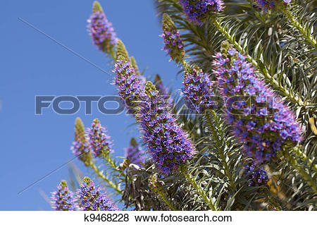 Pictures of Echium candicans k9468228.