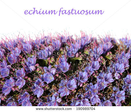 Echium Fastuosum Stock Photos, Royalty.