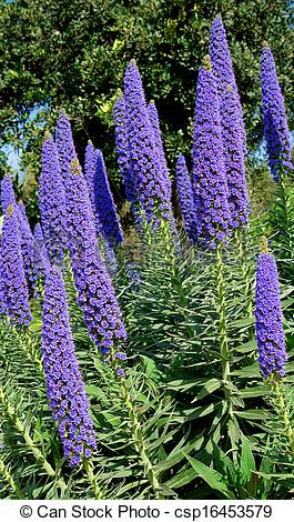 Picture of Echium Candicans in full bloom, flower detail.