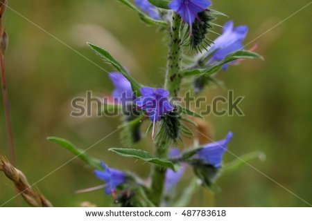 Vipers Bugloss Stock Photos, Royalty.