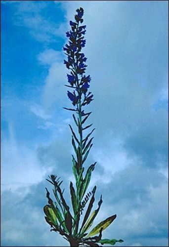 1000+ ideas about Echium Vulgare on Pinterest.