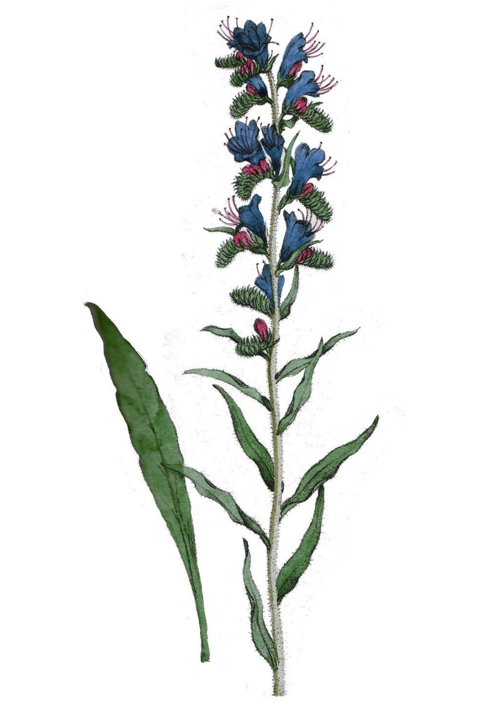 File:Echium vulgare L ag1.jpg.