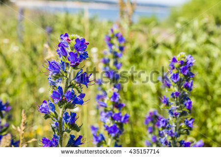 Echium Vulgare Stock Photos, Royalty.