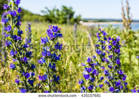 Echium Vulgare Stock Images, Royalty.