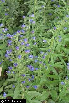 Plants Profile for Echium vulgare (common viper's bugloss).