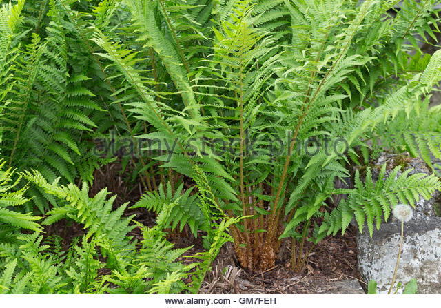 Worm Fern Stock Photos & Worm Fern Stock Images.