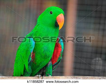 "Picture of Eclectus parrot, Scientific name ""Eclectus roratus."