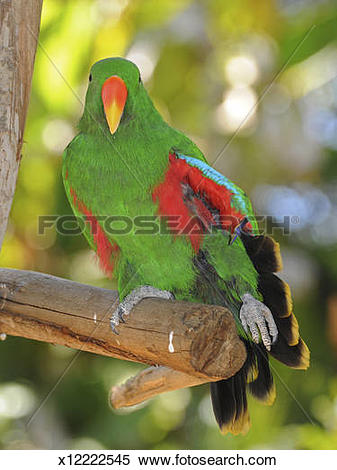 Stock Image of Male Eclectus parrot, Eclectus roratus, showing.