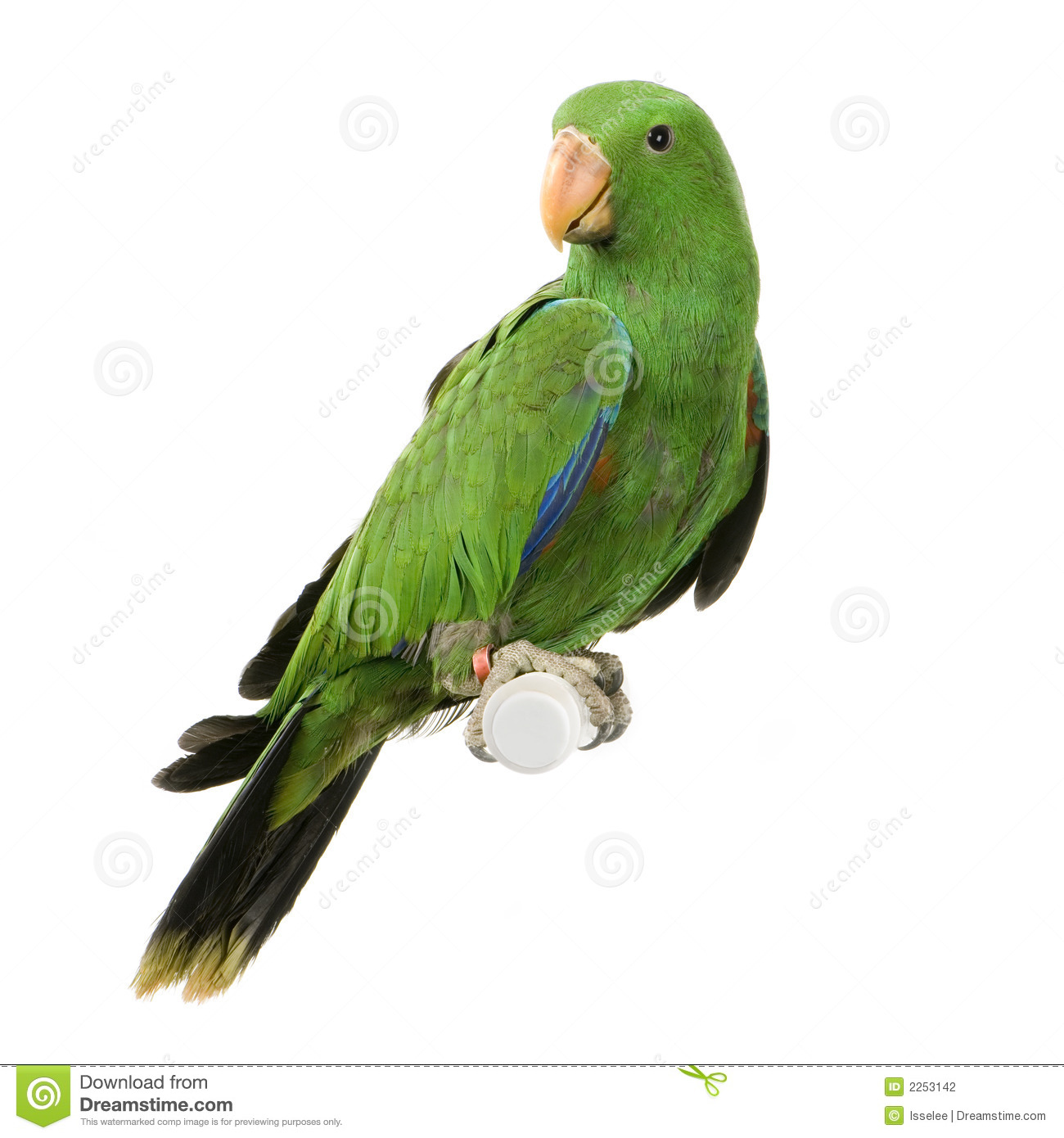 Male Eclectus Parrot Royalty Free Stock Image.